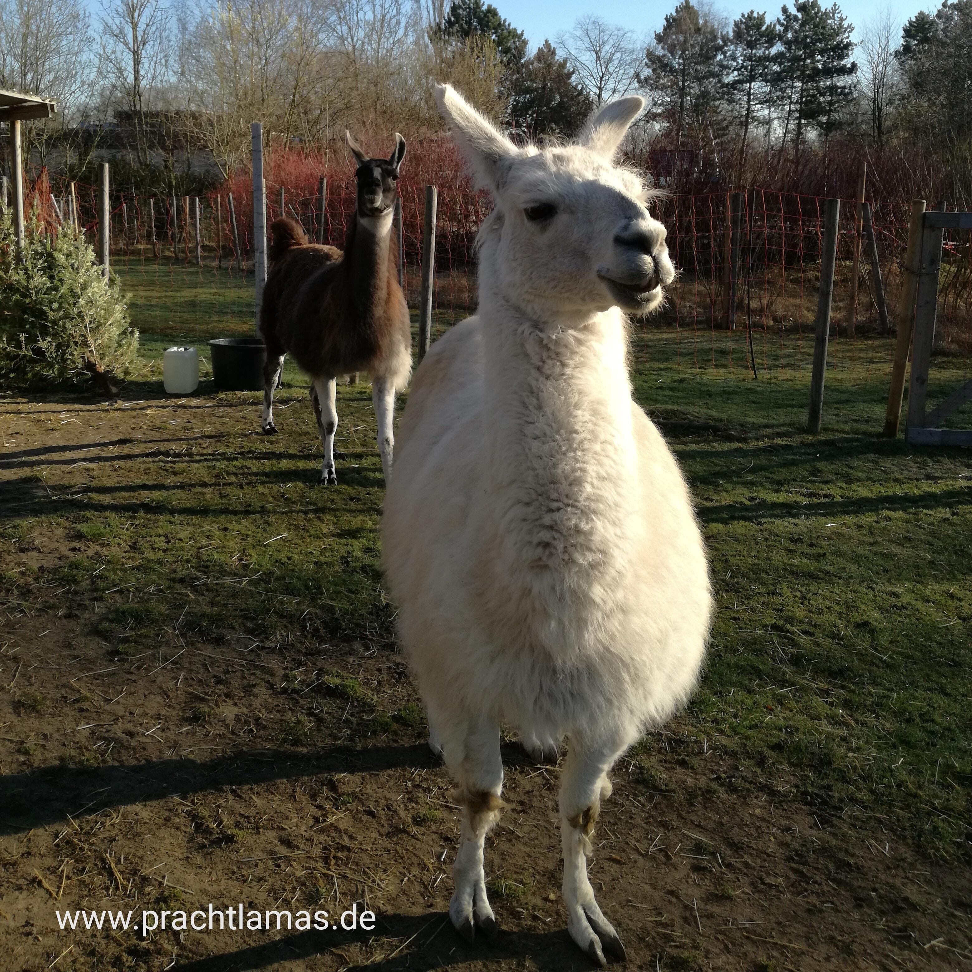 Lama Dancer freut sich auf eine achtsame Mensch-Tier-Begegnung mit Lamas