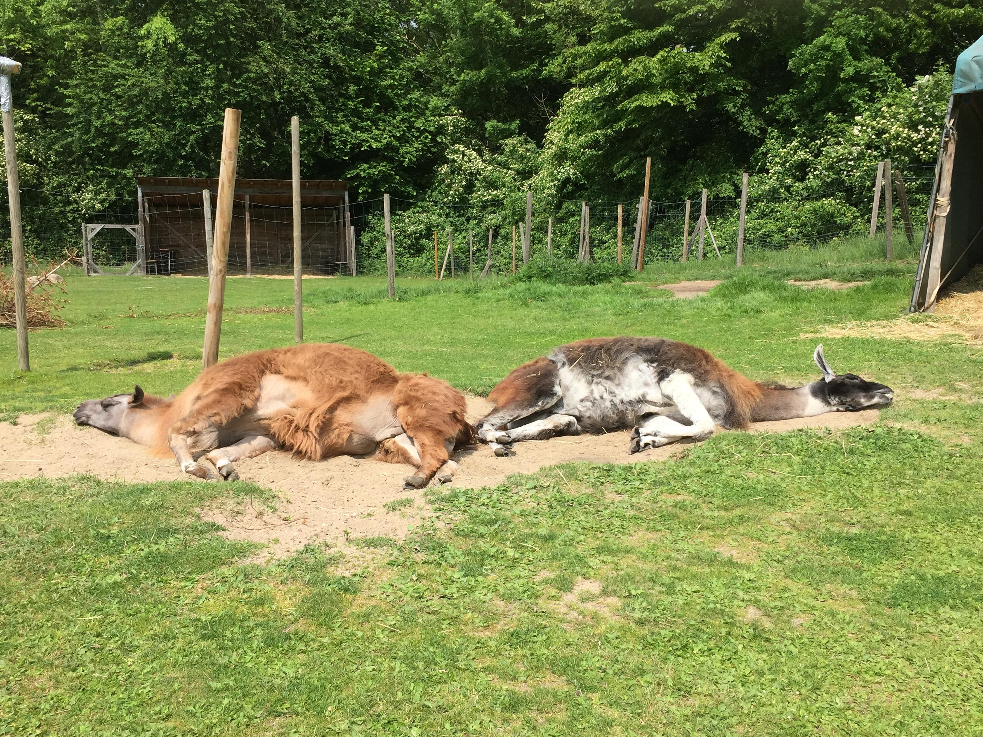 Lama Caruso und Lama Hannibal ganz entspannt auf der Weide, Prachtlamas im Ruhrgebiet