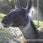 Lama Hannibal wartet auf Gäte in Gelsenkirchen, Ruhrgebiet, NRW